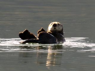 Sea-Otters-everywhere-we3E.jpg