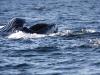 humpback1large.jpg